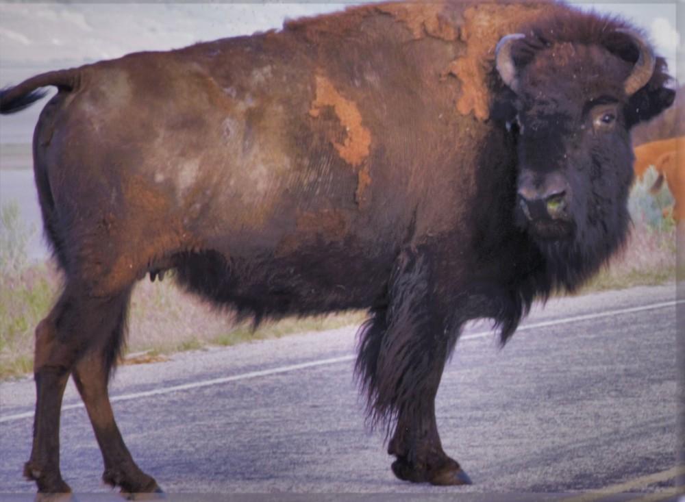 She Buffalo